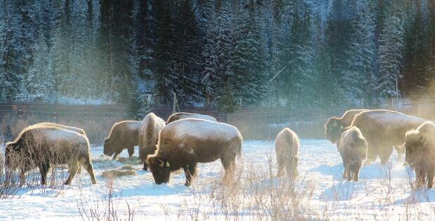 Banff bison reintroduction project