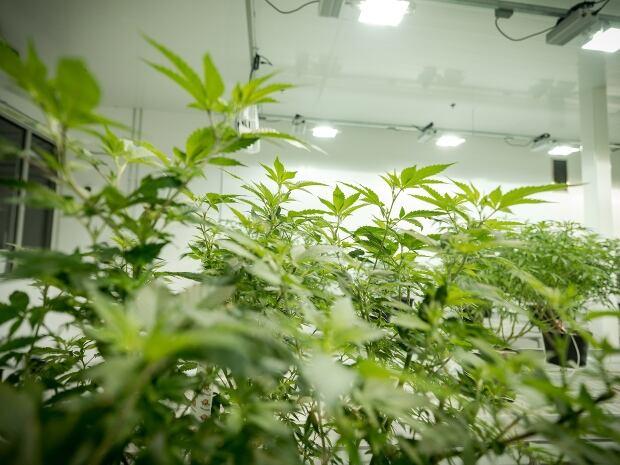 Bruce Linton Canopy Growth cannabis plants