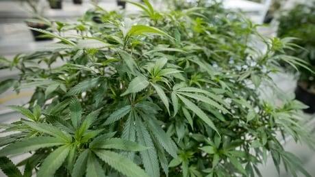 Bruce Linton Canopy Growth cannabis plants marijuana