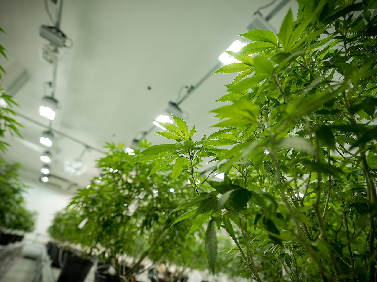 Growing pot? Here are some common mistakes to avoid | CBC News