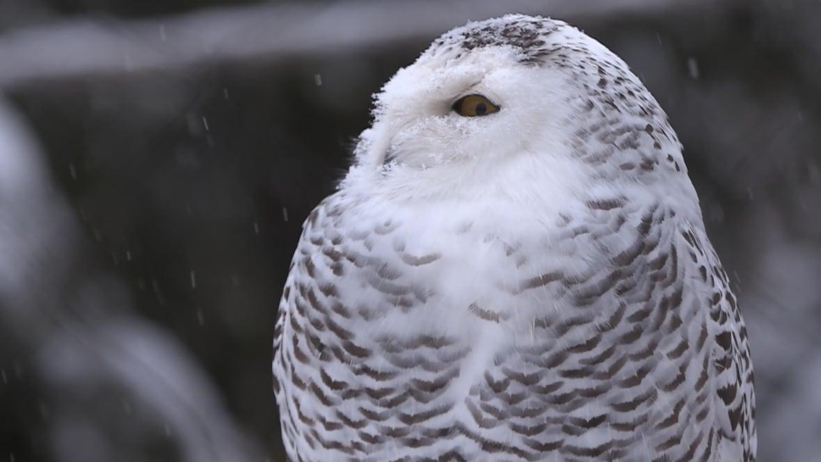 Calling all birdwatchers: Rare snowy owl 'irruption' grips Toronto