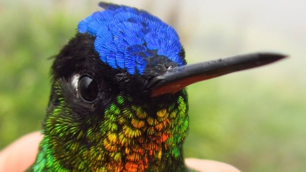 Videos of more than 200 hummingbirds, including this fiery-throated hummingbird, were collected from four Central American sites.