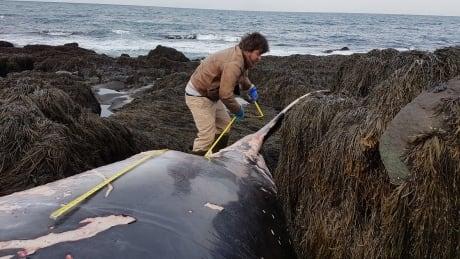 Jess Tudor measures the minke whale near Tiverton.