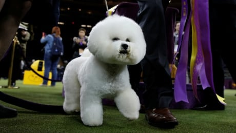 Tiny, fluffy and fierce: Meet Flynn, the Best in Show winner at the 2018 Westminster dog show