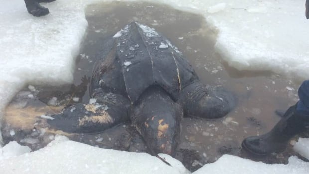 The turtle carcass had to be freed from thick ice before it could be hauled ashore in Cape Breton.