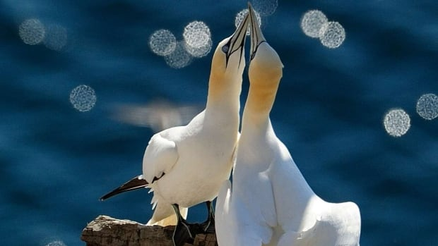 A pair of northern gannets clack their bills together, one of the signs of affection that mates show each other.