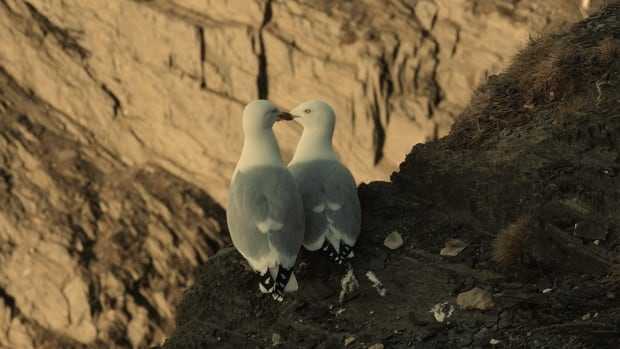 seagulls cliff birds love couple mates