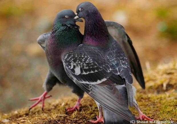 Pigeons couple mates love birds