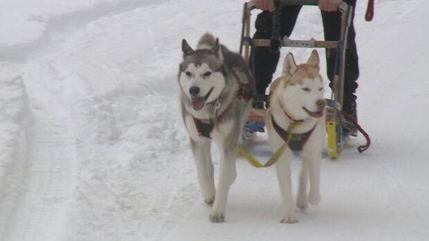 Obi and Leia hooked up to their dog sled with owner, Colin Langlois