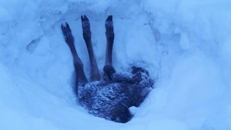 Moose Calf Rescue