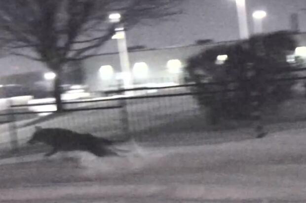 Coyote, Windsor