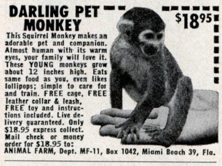 Fits In The Palm Of Your Hand Darling Pet Monkey Animal