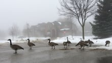 Geese chilin'