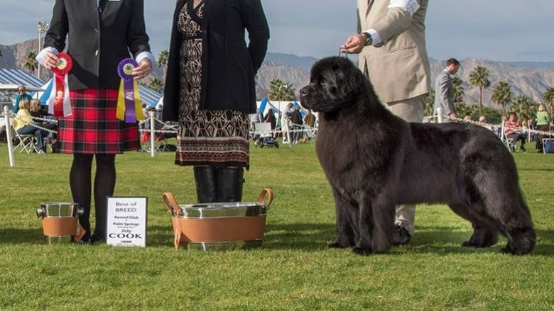 Ladysmith, B C , dog fetches Best in Breed at New York competition