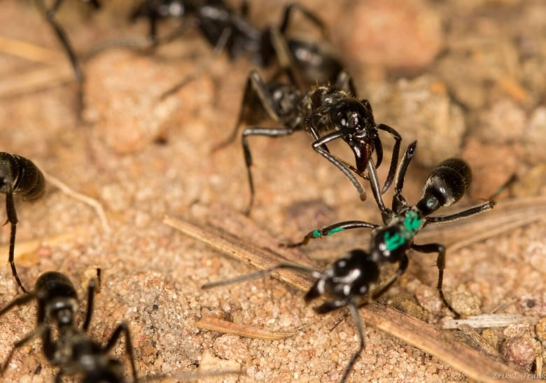 Ants Treat Battleground Wounded During Termite Wars Cbc Radio