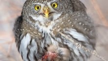 Northern Pygmy Owl eating Bohemian Waxwong Calgary