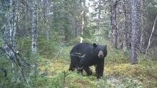 Southwest Valley bear