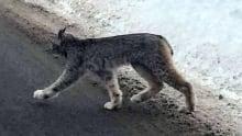 Lynx roams through Thunder Bay