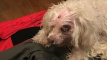 Maltipoo, Molly, attacked by lynx in Thunder Bay, Ont.