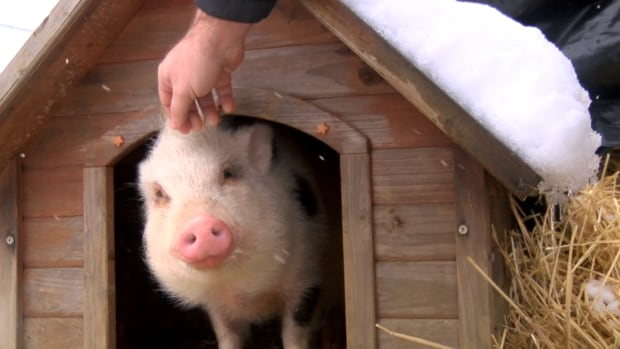BC couple kill and eat adopted rescue pet pig