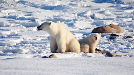 More polar bears are entering communities in East Greenland, hunters say in new survey
