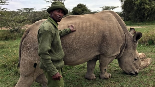 In this July 28, photo, wildlife ranger Zachariah Mutai takes care of Sudan, the world's last male northern white rhino, at the Ol Pejeta Conservancy in Kenya. Sudan's health is in decline.