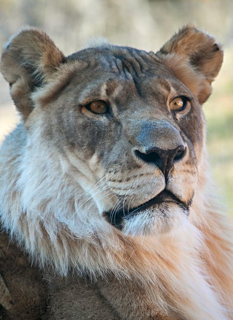 bridget the lioness grows a mane leaving veterinarians baffled