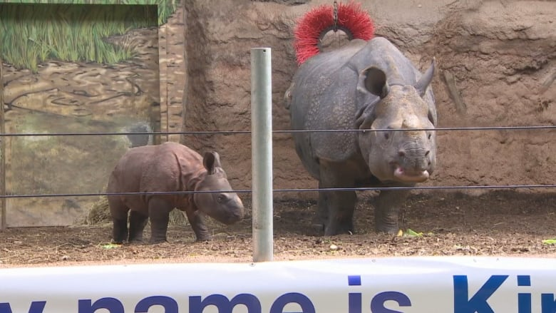 the 2 newest members of the toronto zoo s rhino family now have