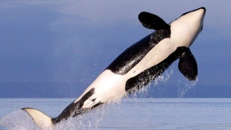 Conservationists call for orca action