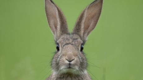 B.C. issues warning to pet rabbit owners as virus spreads to Lower Mainland