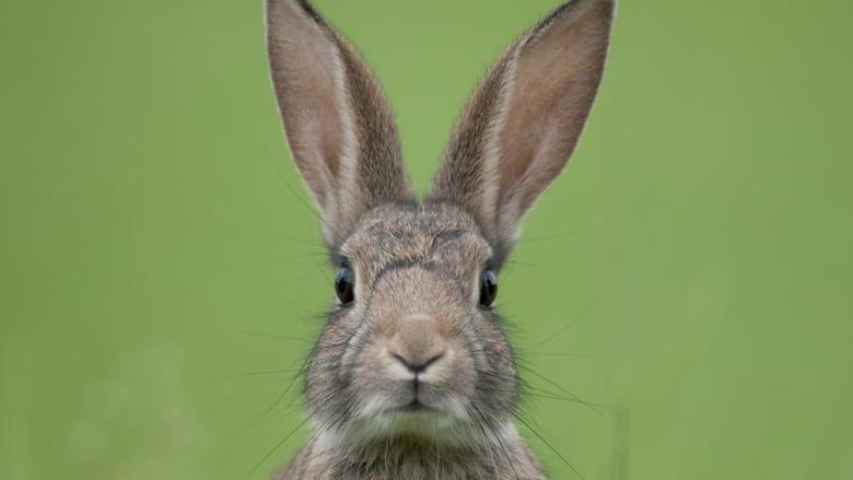 Rabbit hemorrhagic disease found for a second year