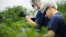 Cannabis Marijuana Industry 20180212