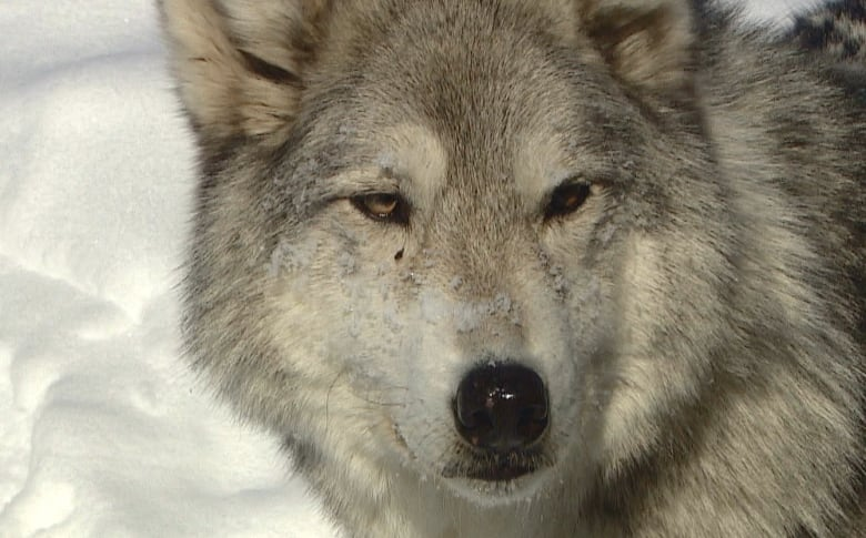 Wolfdog sanctuary at capacity in part due to breeders, Game
