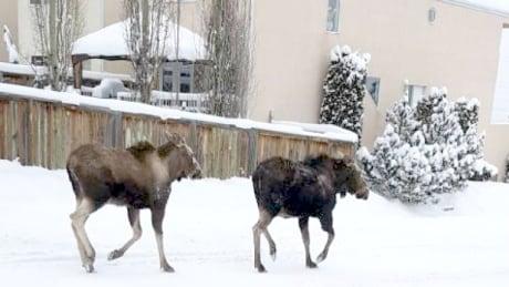 Moose Calgary
