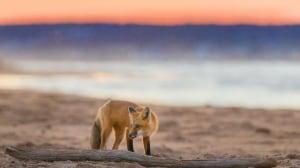 pei beach fox