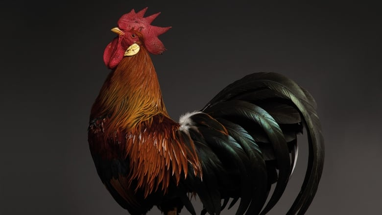 Italian photographers showcase 'top model' chickens in new coffee table book