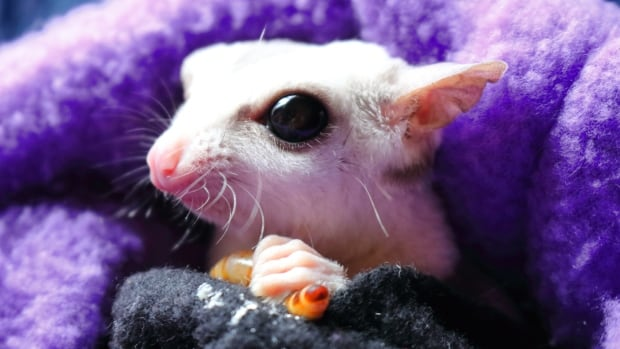 Weird, cute big-eyed sugar gliders: the new pet craze
