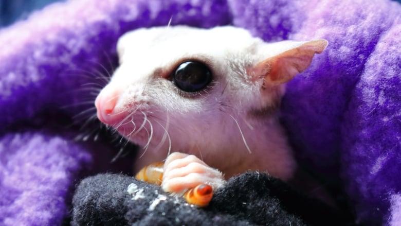 Weird, cute big-eyed sugar gliders: the new pet craze