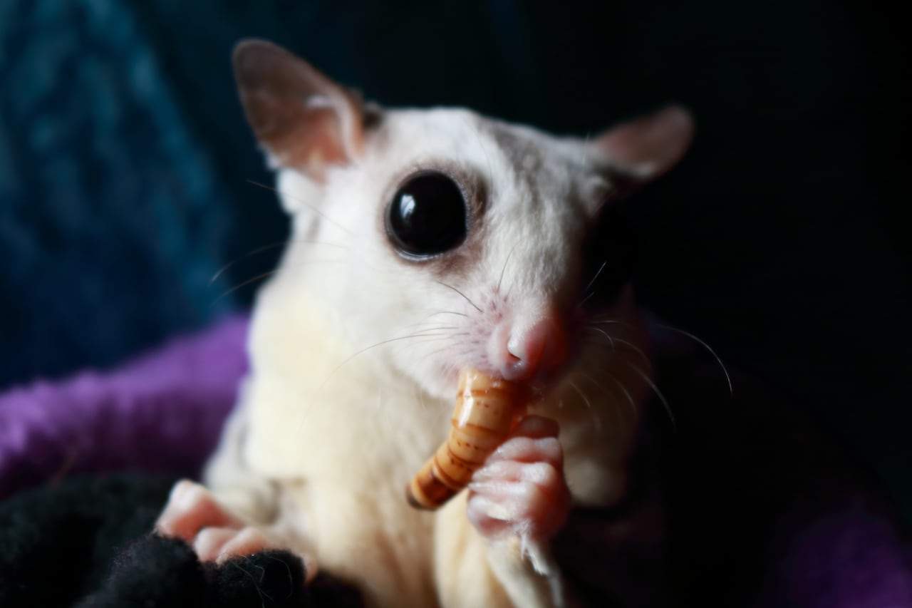 Weird, cute big-eyed sugar gliders: the new pet craze | CBC News