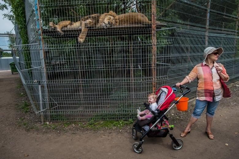 Animales - Naturaleza Lions