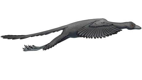 Dino-bird fossil Archaeopteryx