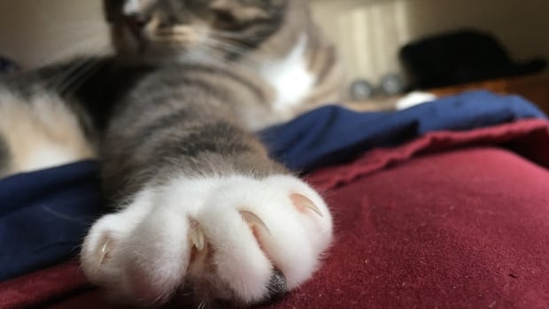 No more declawing of cats, N.L. College of Veterinarians decides | CBC News