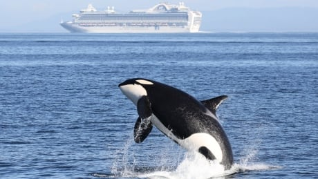Chinook salmon fishery cut to protect southern resident orca population