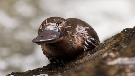 platypus milk has protein with potential to fight superbugs