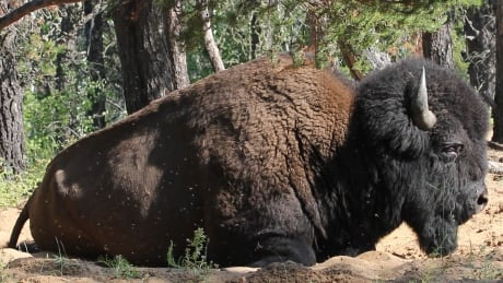 alberta first nation fears for bison herd if mega oilsands mine opens