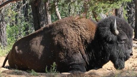 Ronald Lake Bison herd
