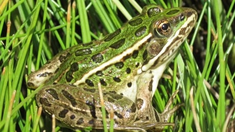 guidelines hope to jumpstart rescue of frogs other amphibians from prairie developments