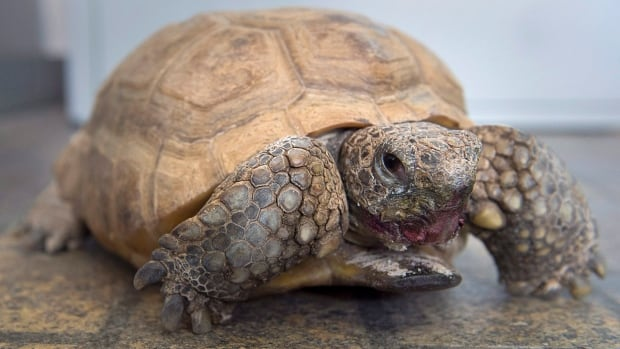 How a $5 roadside tortoise turned into a Halifax icon
