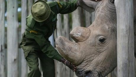 world s last male northern white rhino dies