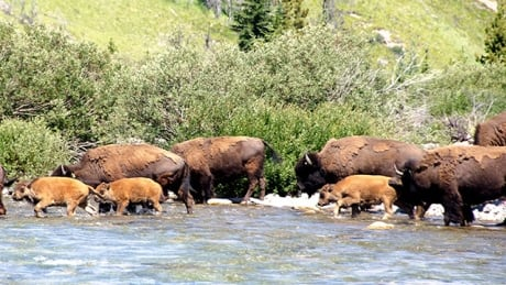 banff holds blessing ceremony with indigenous elders before letting bison roam
